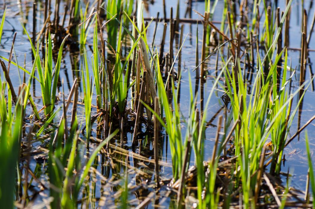 Gras aus dem Teich