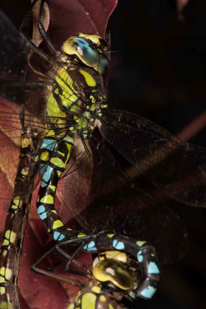 Libellenpaar IV