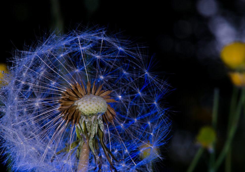 Dandelion seeds, Löwenzahn samen, Pusteblume, _THEMES, blowball, blume, dandelion, flower, löwenzahn, macro, makro, natur, nature, pflanzen, plants, samen, seeds